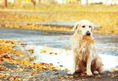 labrador retriever in autumn park