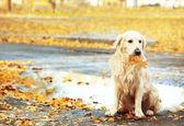 Labradorský retrívr na podzim park