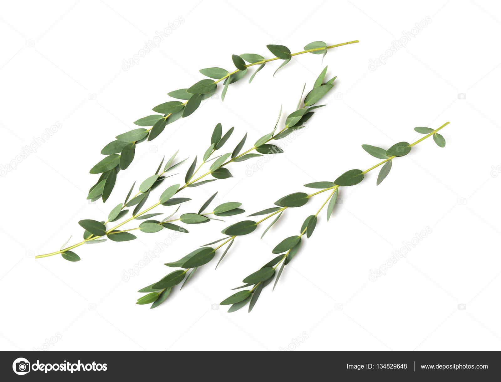 branches d'eucalyptus vert — photographie belchonock © #134829648