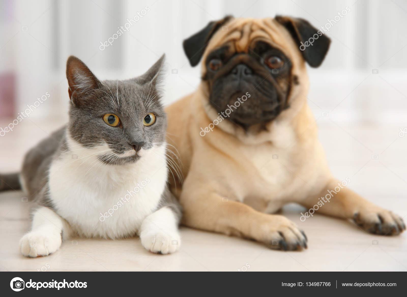 Adorable Pug And Cute Cat Stock Photo C Belchonock 134987766