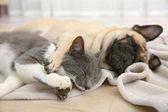 Mopsz és aranyos macska