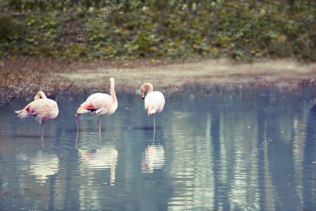 Beautiful flamingos in  pond