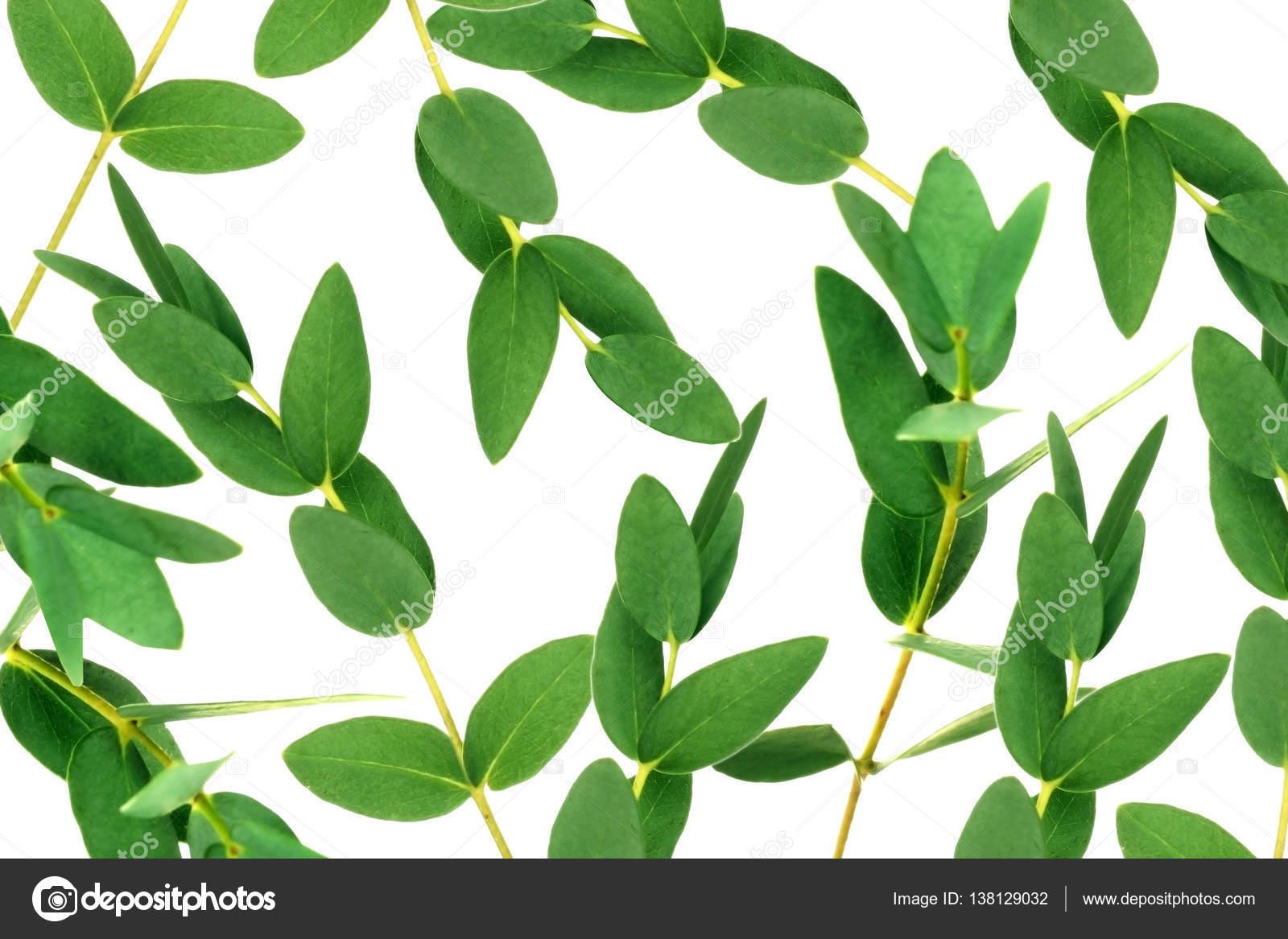 branches d'eucalyptus vert — photographie belchonock © #138129032