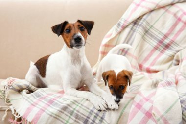 Jack Russell terrier with cute puppy