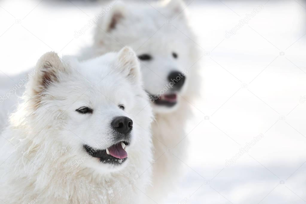 Cute samoyed dogs