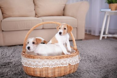 Cute funny dogs in wicker basket at home