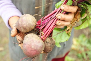 Freshly picked beetroots
