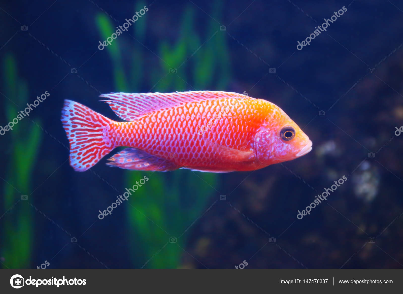 Exotic freshwater fish in aquarium stock photo for Rare freshwater aquarium fish