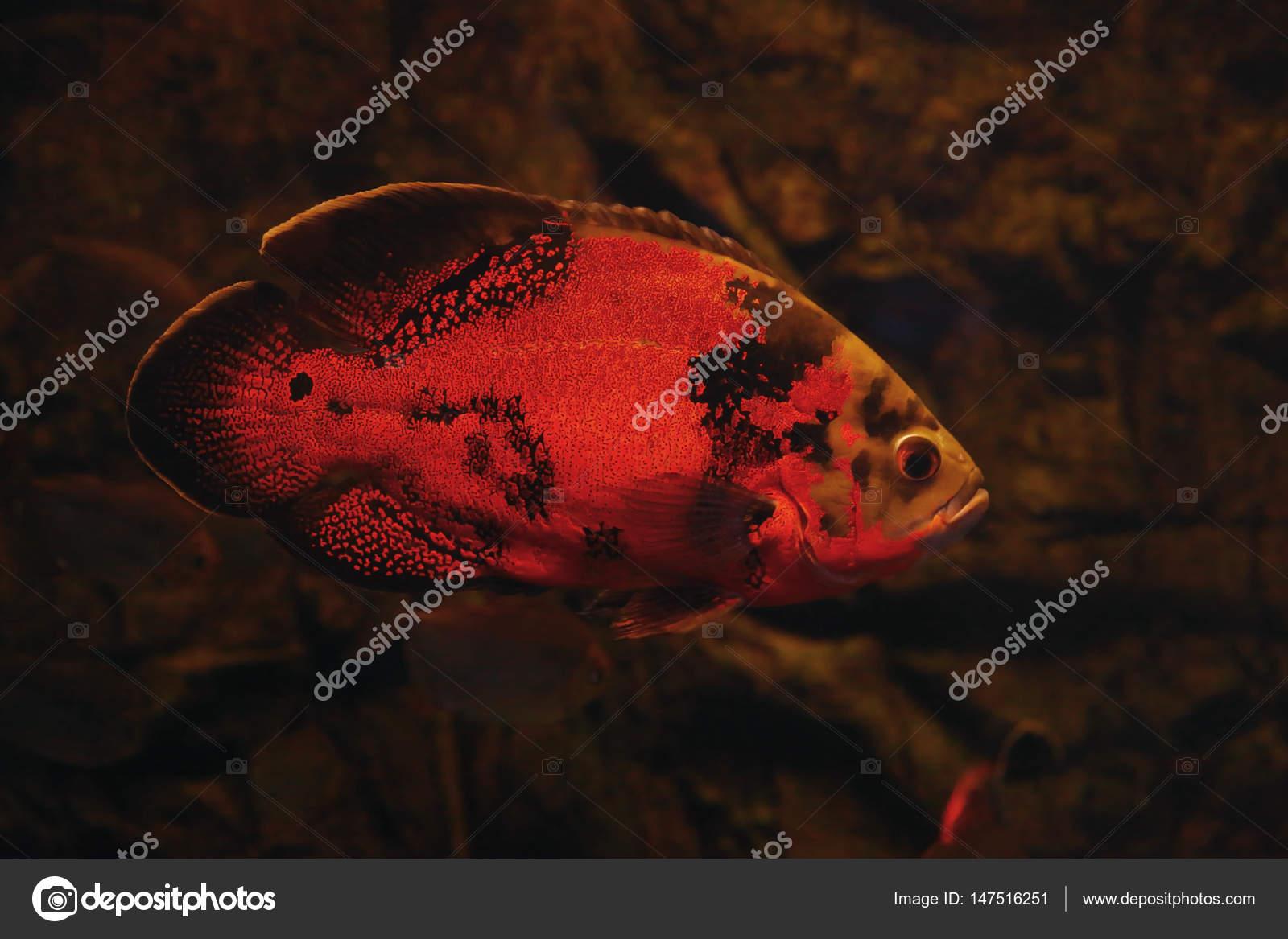 exotische s wasserfische im aquarium stockfoto. Black Bedroom Furniture Sets. Home Design Ideas
