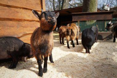 Cute funny goats
