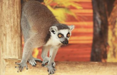 Cute funny ring-tailed lemur