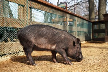 Cute funny pig