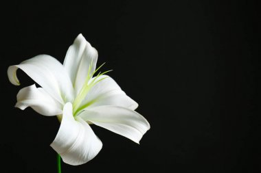 Beautiful white lily on black background stock vector