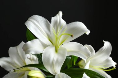 Beautiful white lilies on black background stock vector