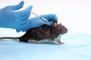 Hands of scientist giving injection to rat