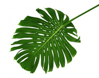 Palm leaf on white