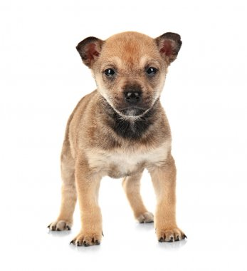 Cute small puppy