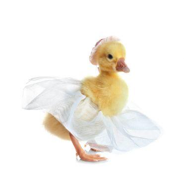 Cute funny gosling