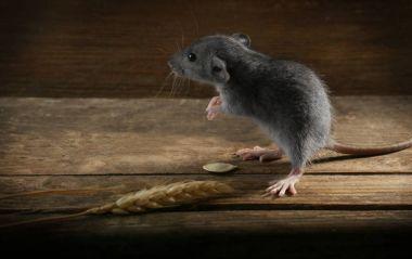 Cute little rat