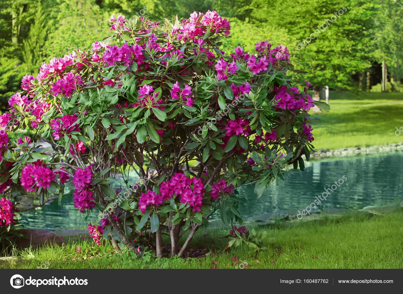 Fotos flores arbustos arbusto flor de flores del jard n foto de stock belchonock 160487762 - Plantas de jardin fotos ...