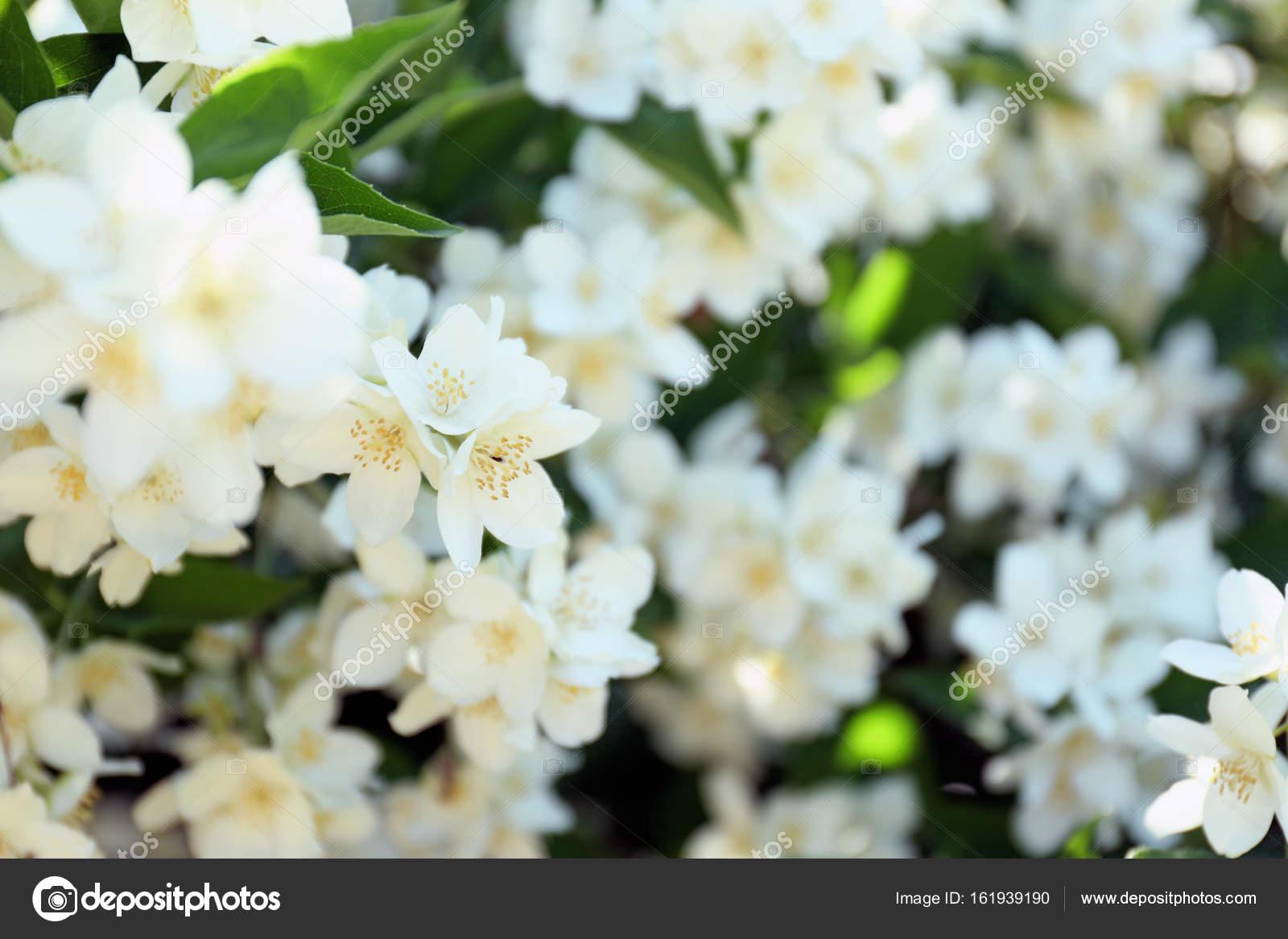 Beautiful jasmine flowers stock photo belchonock 161939190 beautiful jasmine flowers stock photo izmirmasajfo