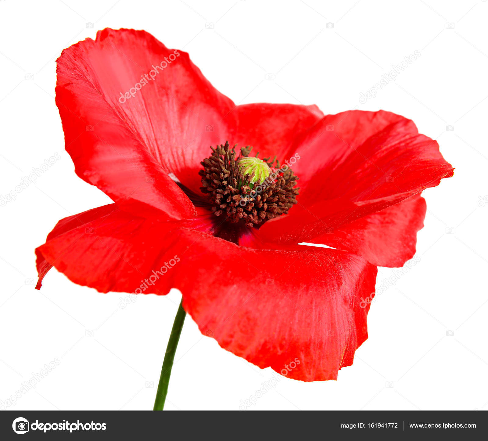 Beautiful Poppy Flower Stock Photo Belchonock 161941772