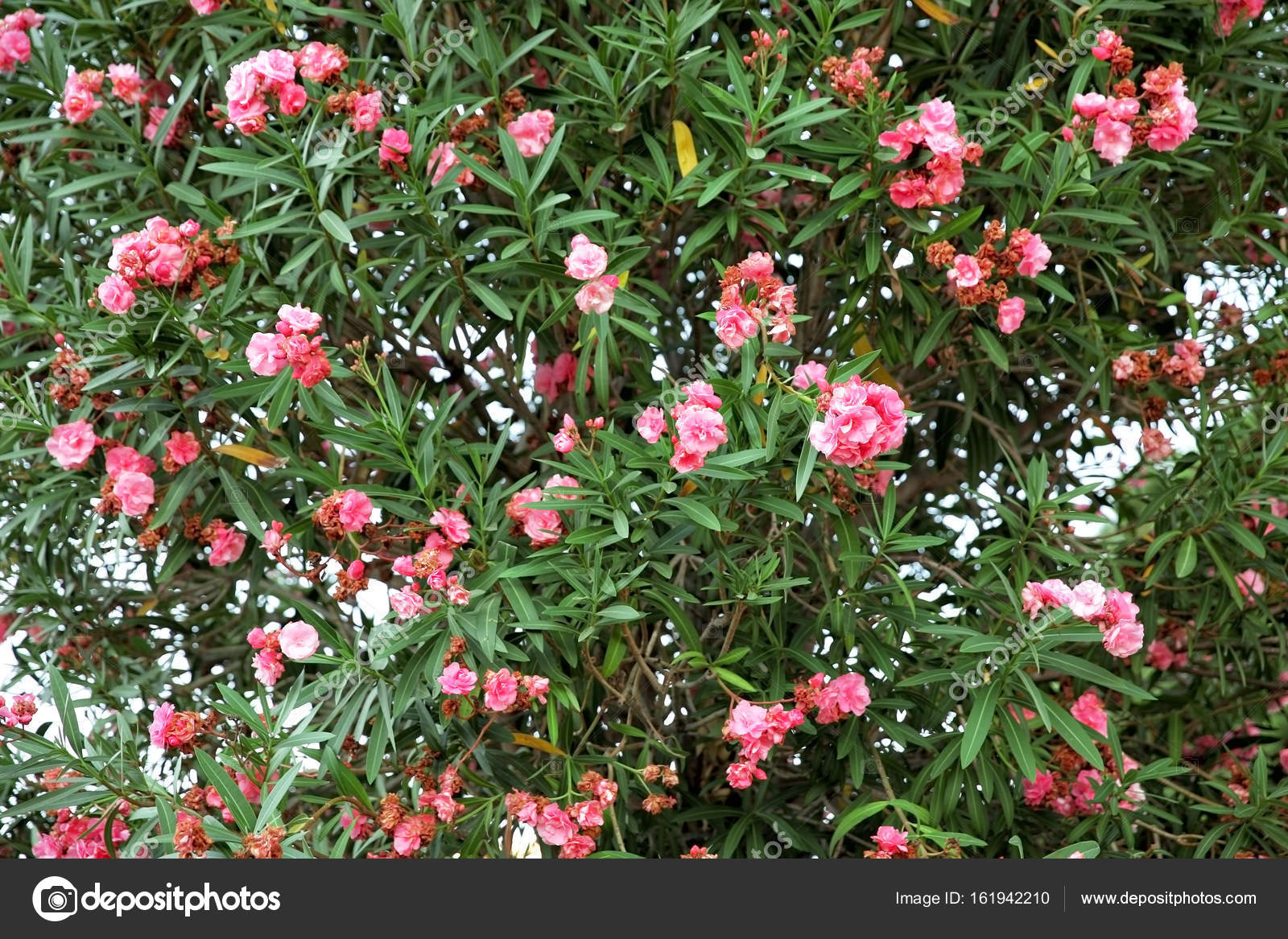 Beautiful Tropical Tree With Flowers Stock Photo Belchonock
