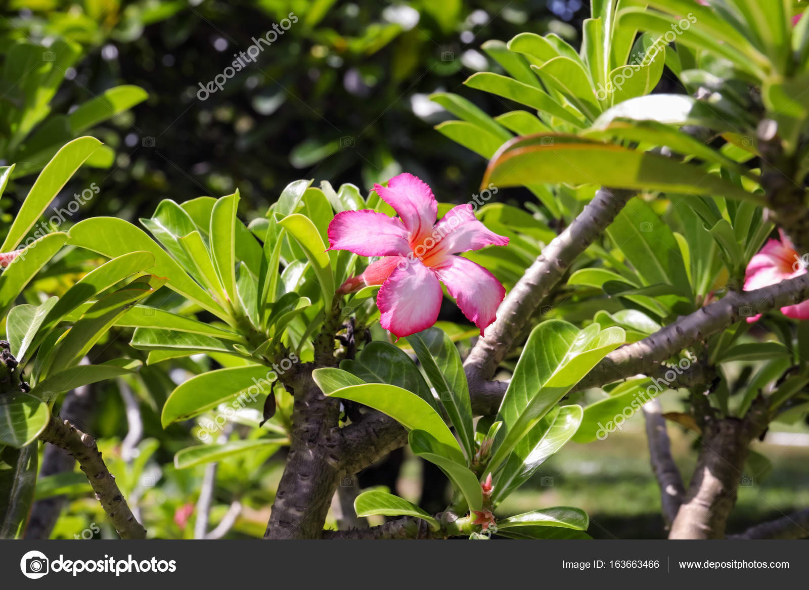Beautiful tropical flowers stock photo belchonock 163663466 beautiful pink tropical flowers outdoors photo by belchonock izmirmasajfo