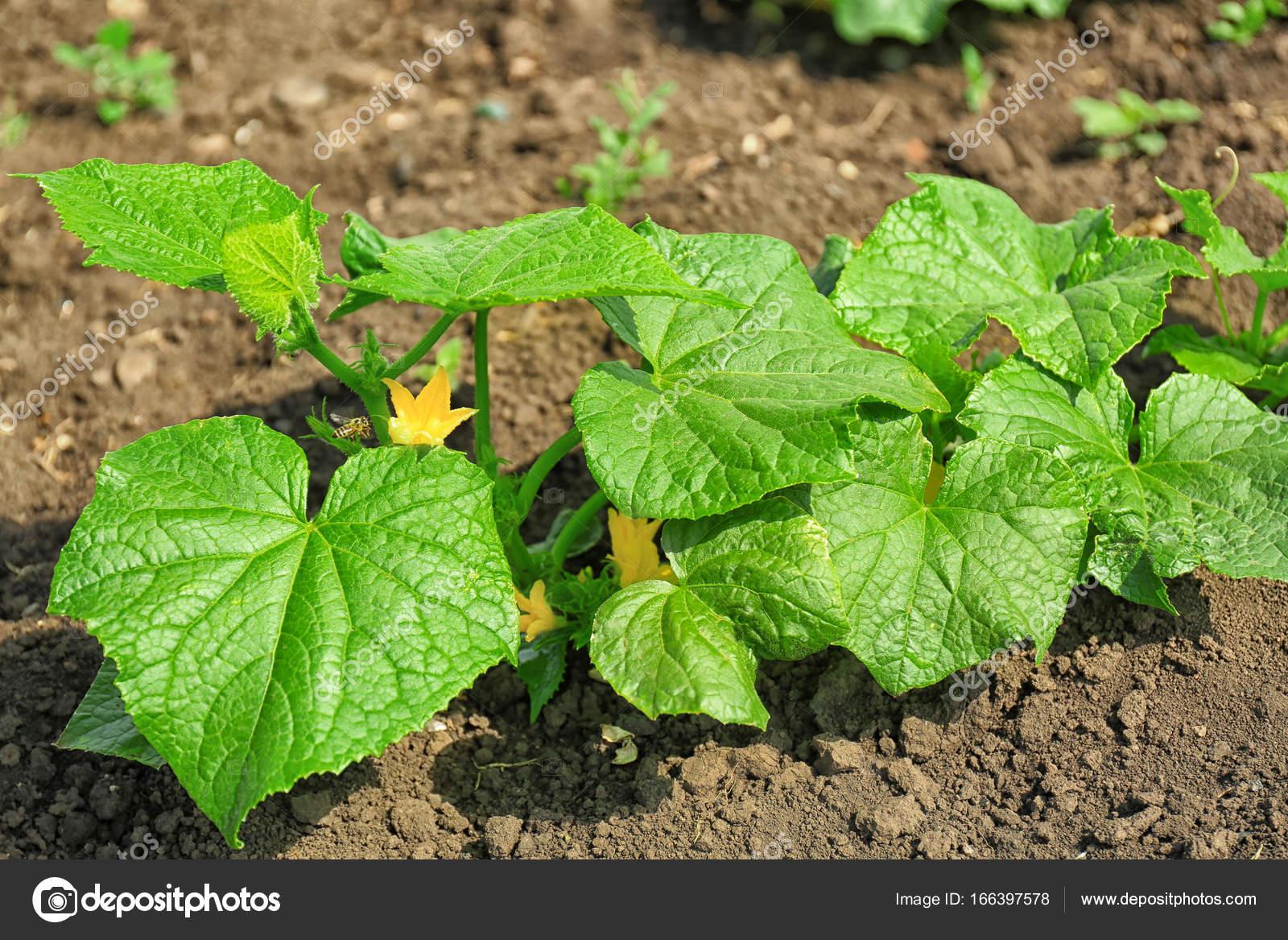 Grune Kurbis Pflanze Wachst Im Garten Stockfoto C Belchonock
