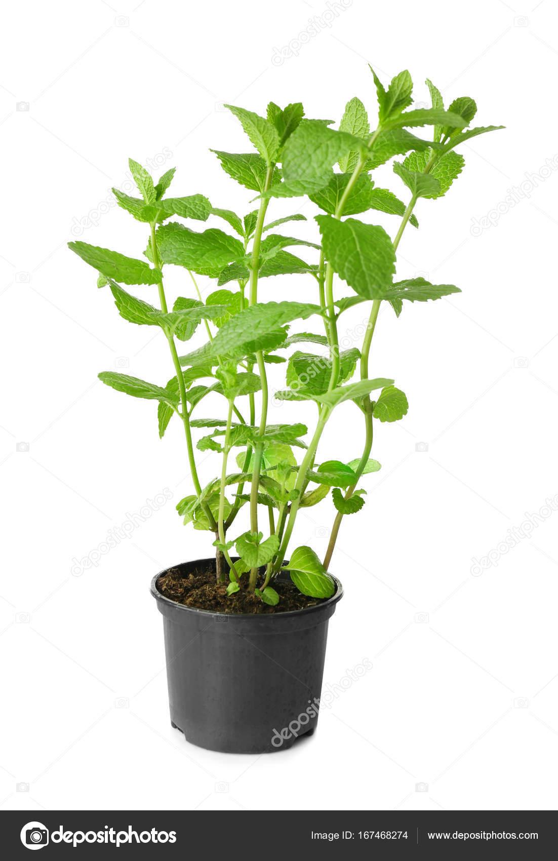 Plant De Menthe En Pot pot with fresh mint — stock photo © belchonock #167468274
