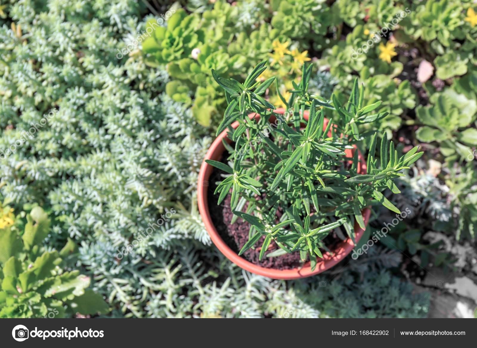 Topf Mit Rosmarin Im Garten Stockfoto Belchonock 168422902