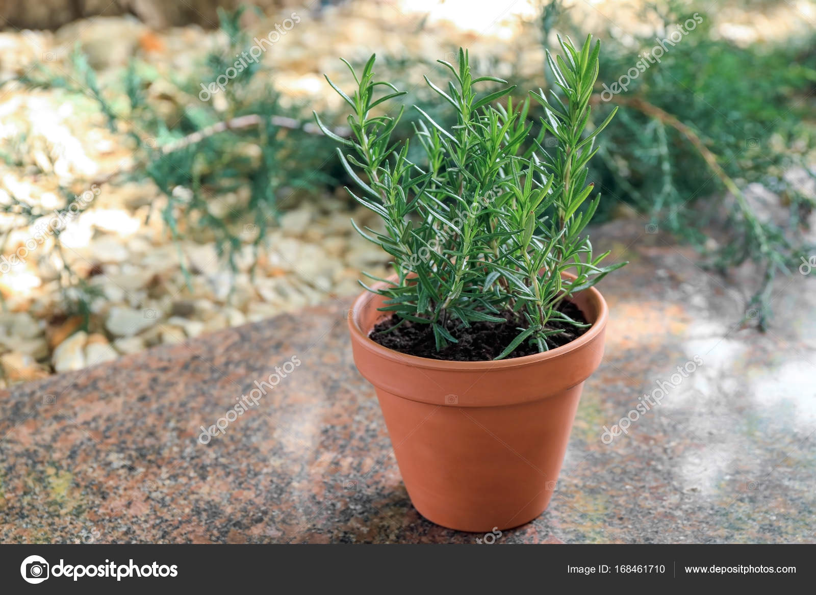 Topf Mit Rosmarin Im Garten Stockfoto Belchonock 168461710