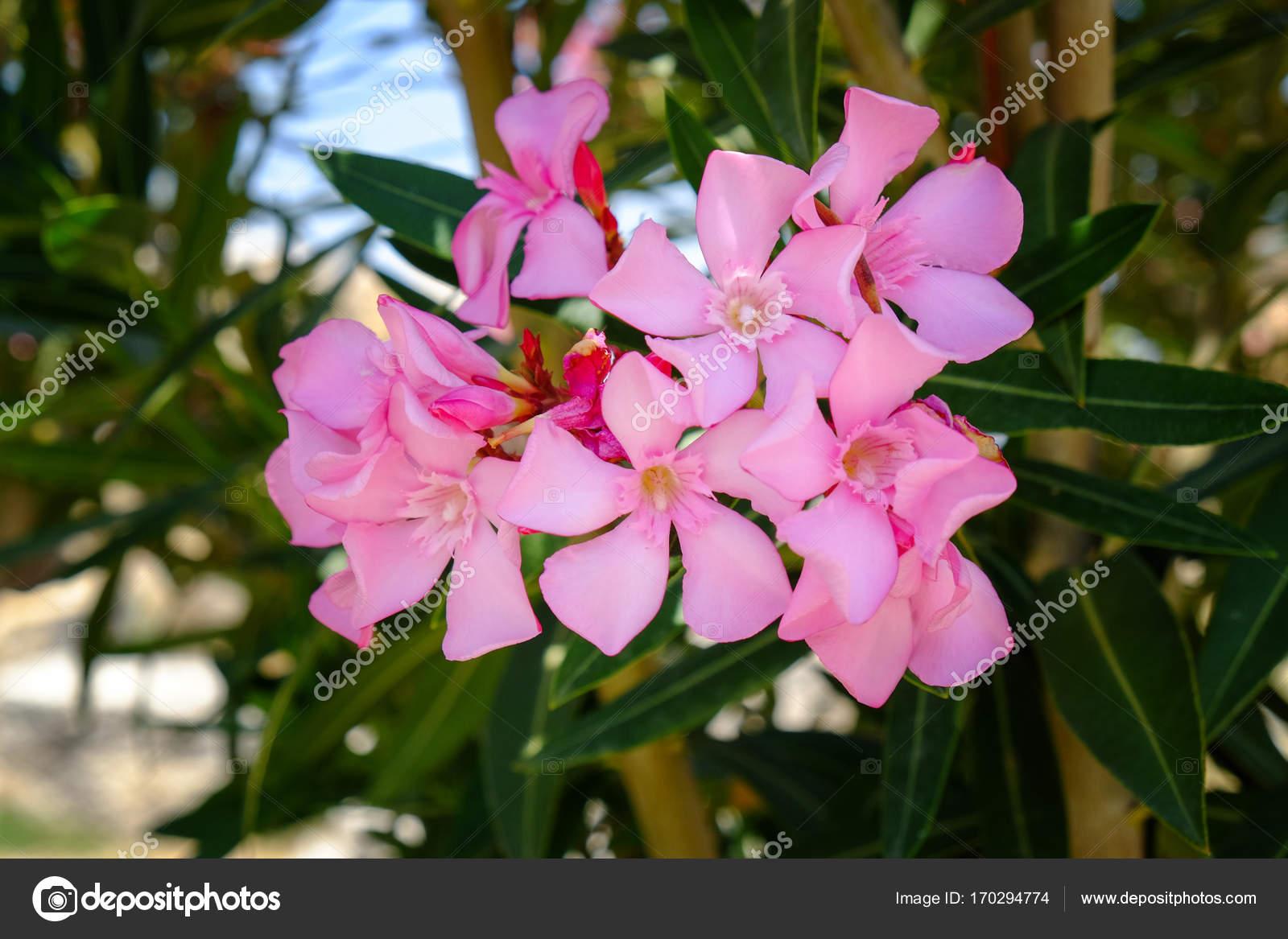 Beautiful Shrub With Blooming Flowers Stock Photo Belchonock