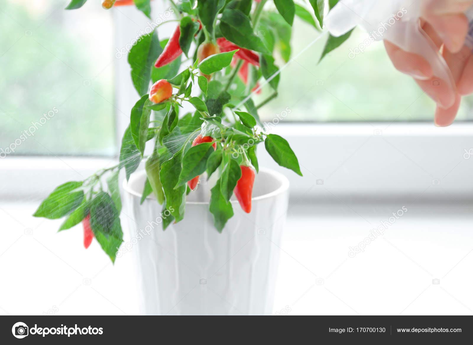 femme eau d'arrosage sur bush de piment à l'intérieur — photographie