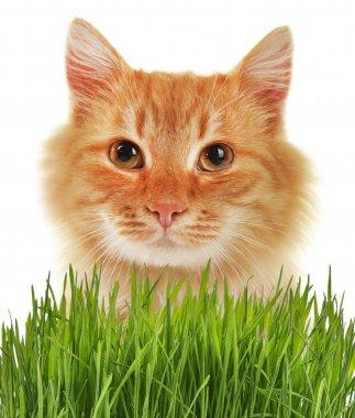 Cute cat and wheat grass