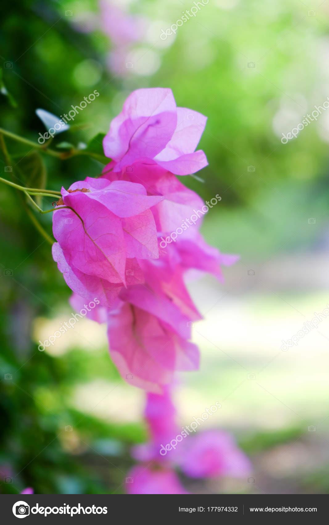 Tropical Pink Blooming Flowers Closeup Stock Photo Belchonock