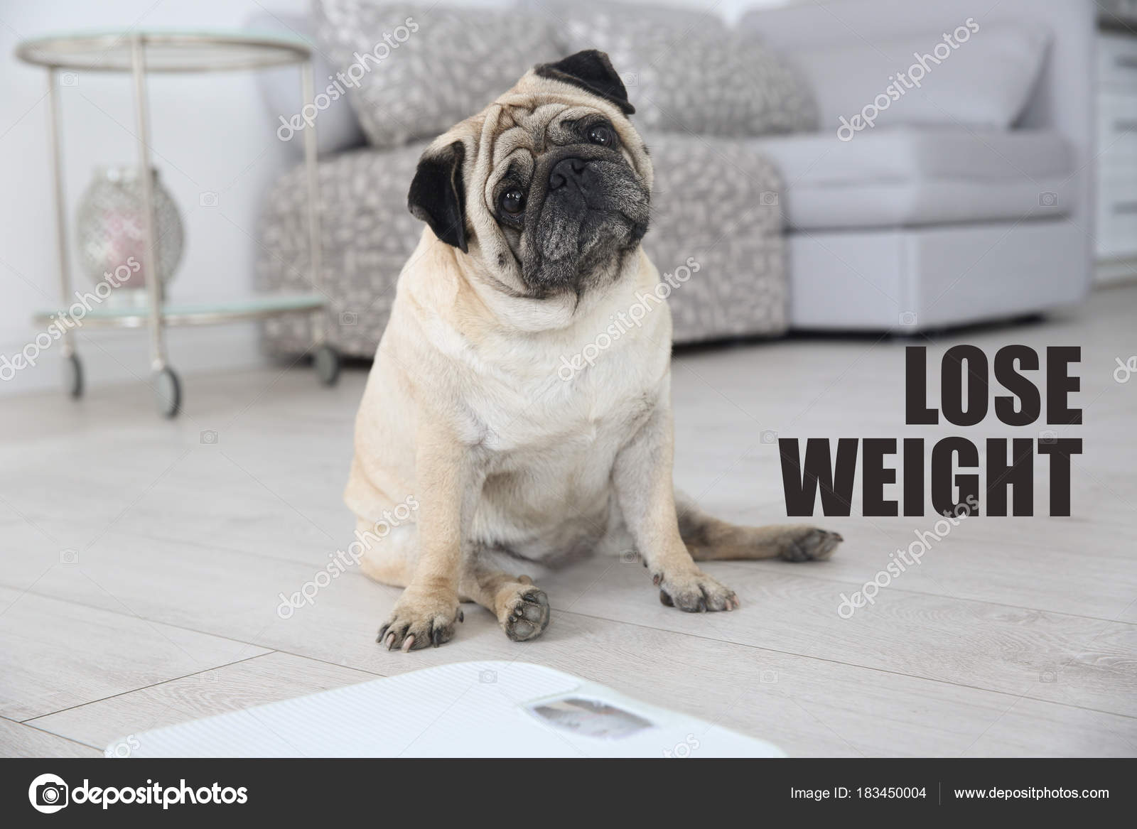 Motivation Quote Lose Weight Cute Overweight Pug Dog Sitting Floor