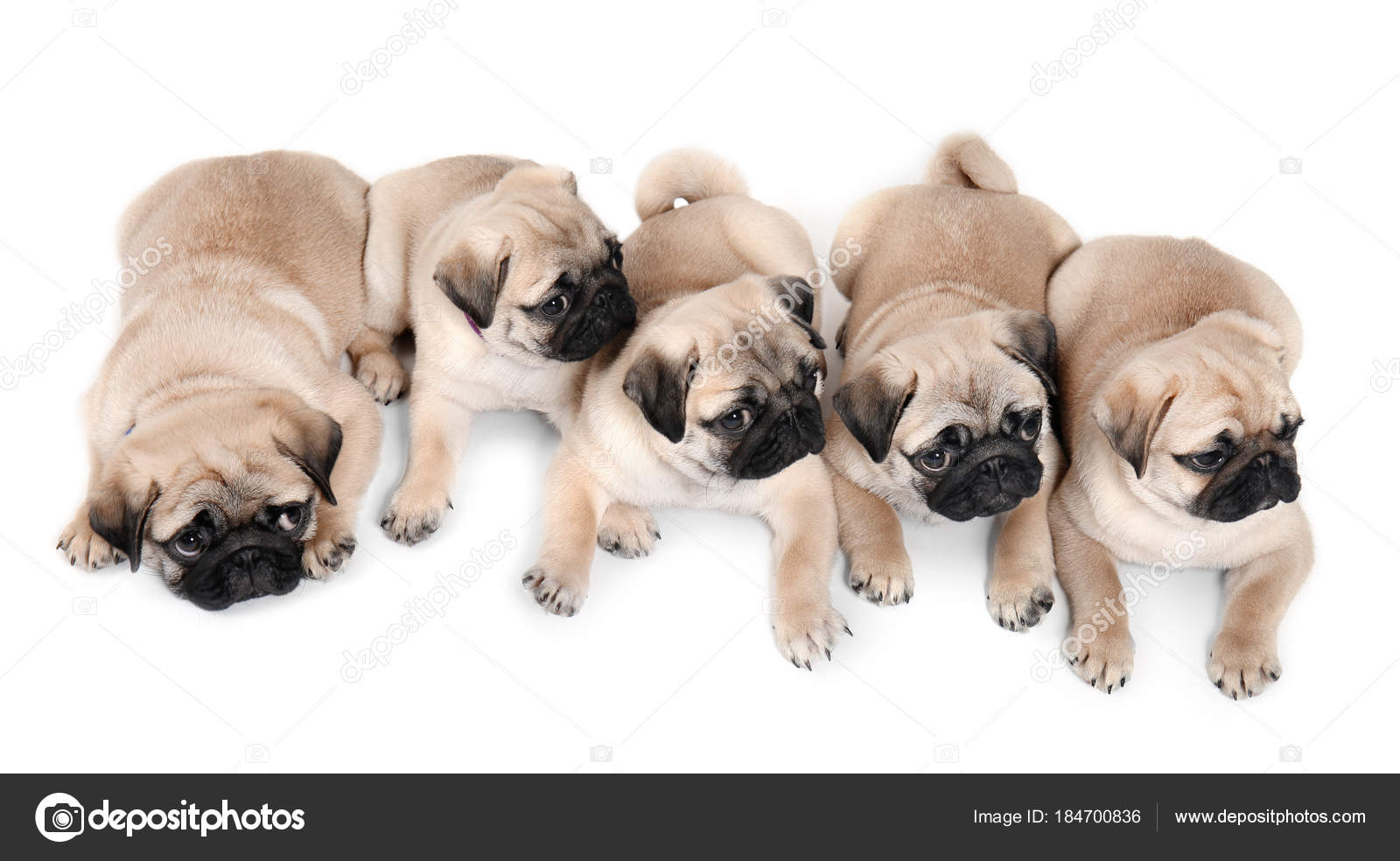 Cute Pug Puppies On White Background Stock Photo C Belchonock 184700836