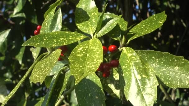 laurel tree with bay leaves and berries