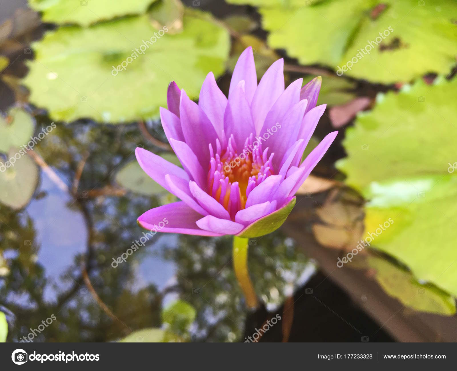 Lotus Flower Blooming Purple In The Garden Stock Photo