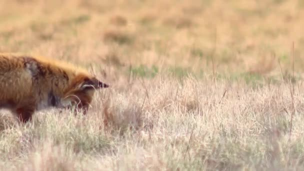 Beautiful fox in the wilderness in Full HD.