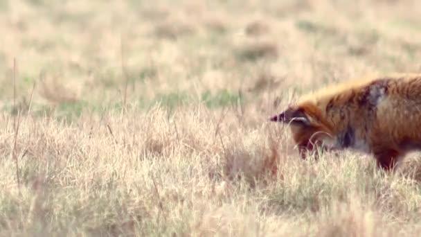 Beautiful fox in the wilderness in Full HD.