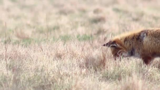 Krásné fox v divočině v rozlišení Full Hd