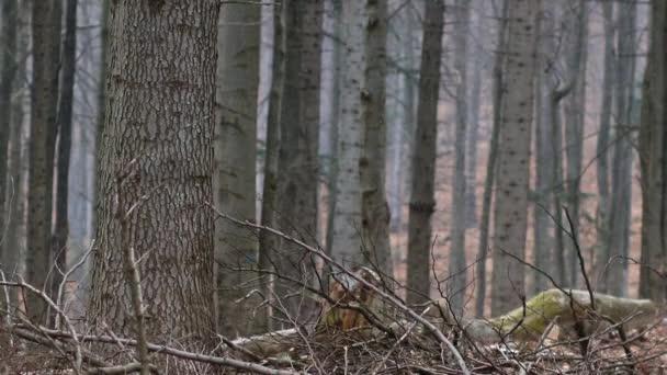 Vecchia foresta in montagne di Bieszczady. Poca neve sta cadendo