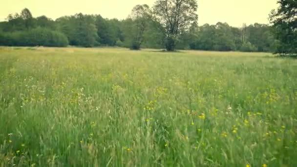 Vidéki tavaszi táj. Friss zöld rét-virágok, gyógynövények és fű. Meleg délutáni fény. Flycam lövés a zöld rét (szempontból felvétel).