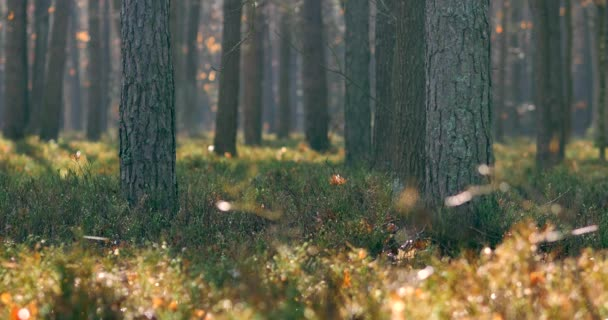 Mattina in bellissimo bosco, con alberi vecchi, grandi