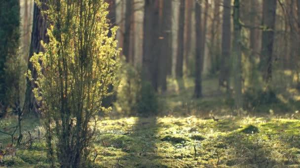 Ráno v krásném lese, se starými, velkými stromy.