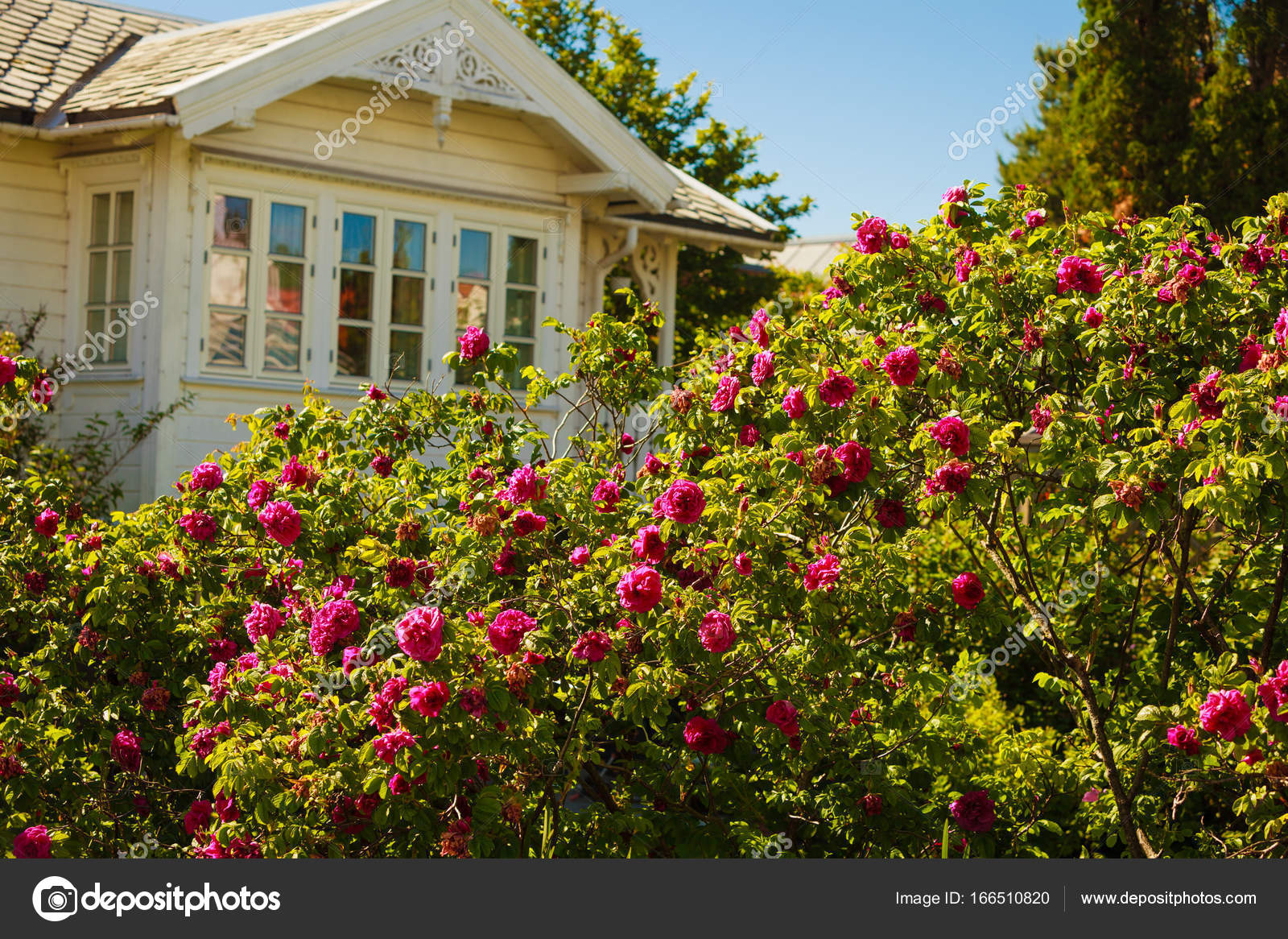 Beautiful bush with pink roses, white house in background — Stock ...