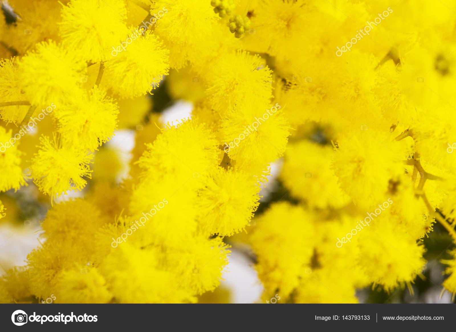 Цвет мимозы фото