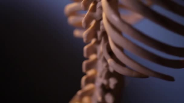 Human skeleton. Spine.